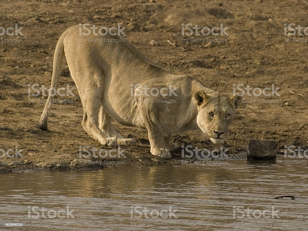 Staring Lioness royalty-free stock photo