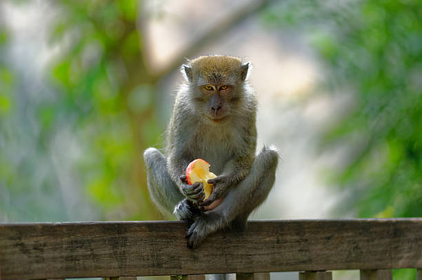 Staring Long Tailed Macaque stock photo