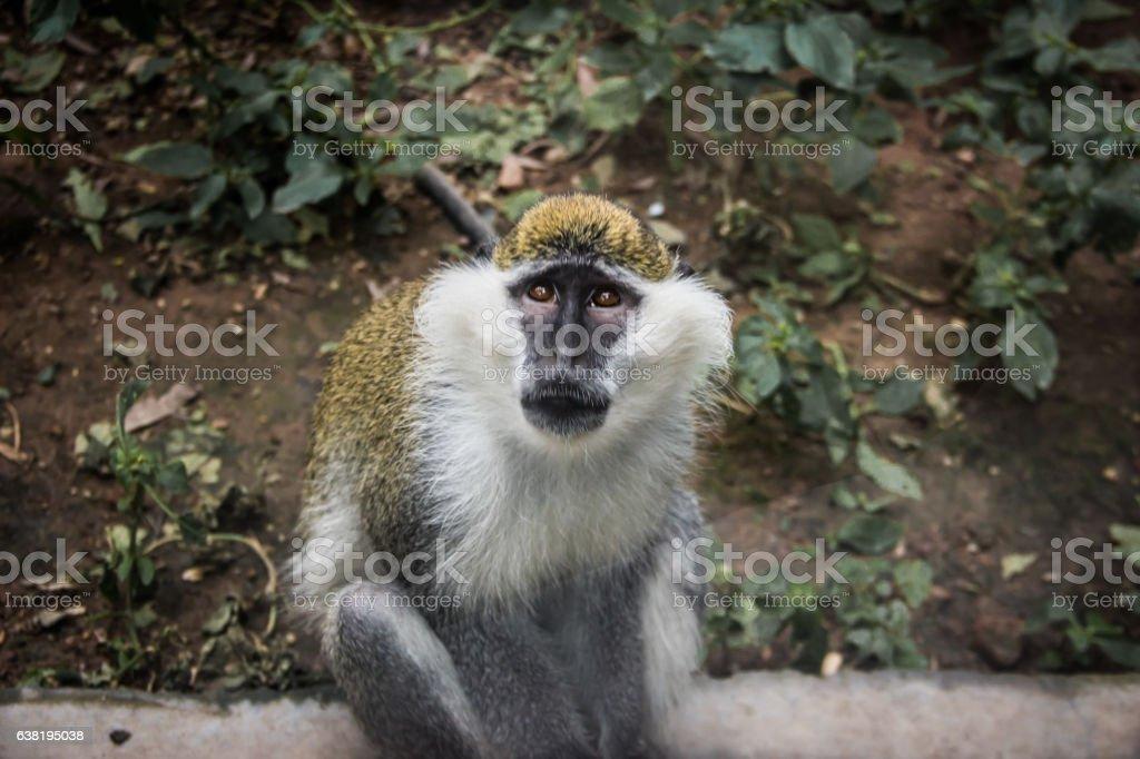 Staring Monkey stock photo