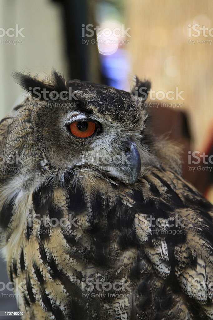 staring owl royalty-free stock photo