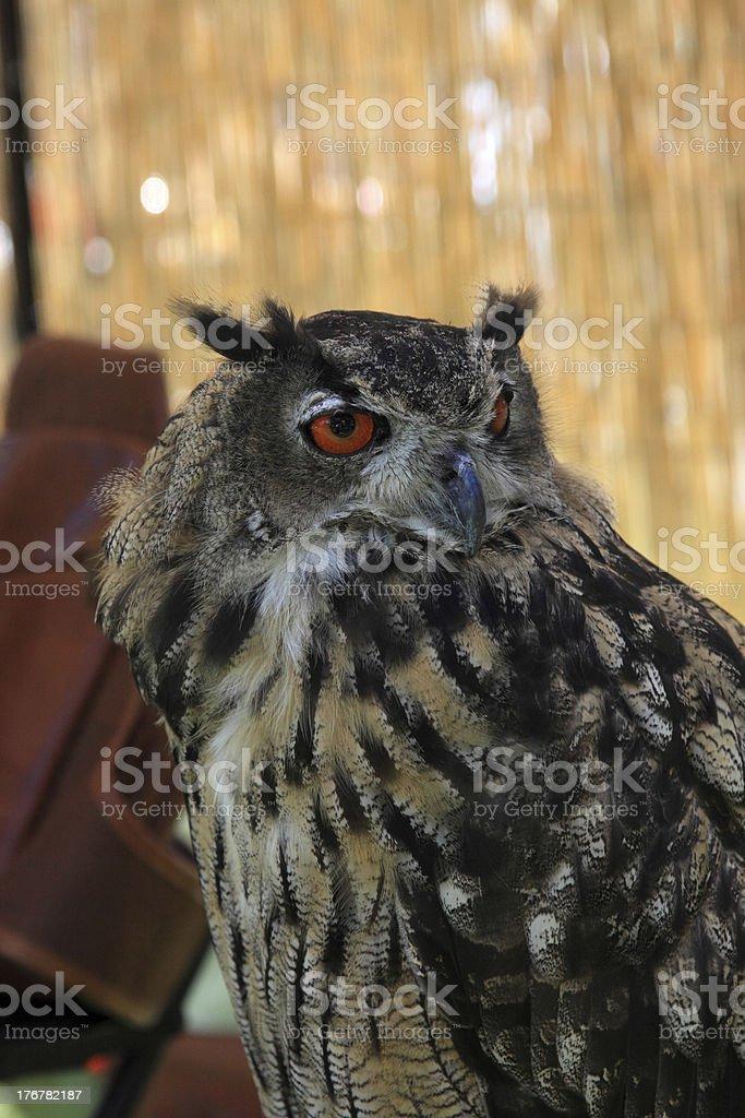 staring owl royalty-free stock photo