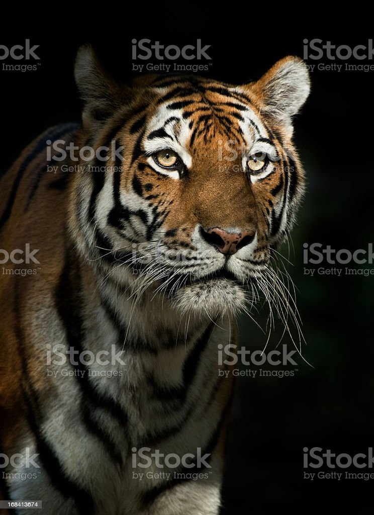 Staring Tiger In The Evening royalty-free stock photo