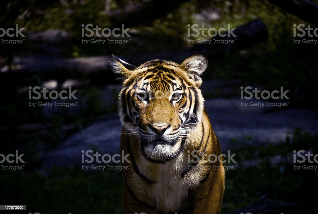 Staring Tiger stock photo