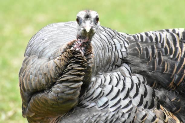 Staring Turkey stock photo