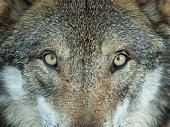 Close shot of the eyes of a wolf.