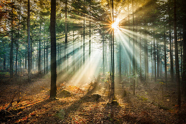 star-like flare and sun beams - misty forest - trees in mist stock pictures, royalty-free photos & images