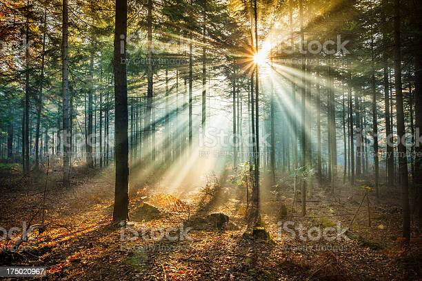 Starlike Flare And Sun Beams Misty Forest Stock Photo - Download Image Now