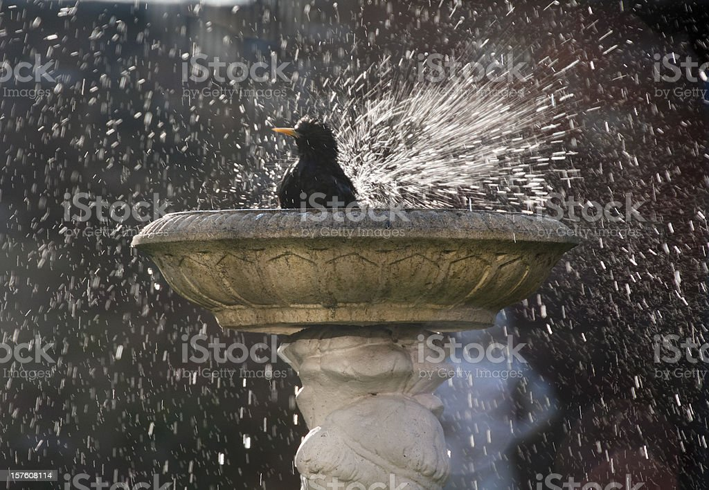 Starling Bathing In A Bird Bath stock photo
