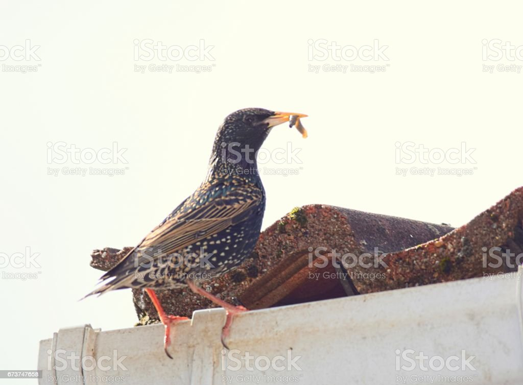 starling bird close up nesting in roof royalty-free stock photo