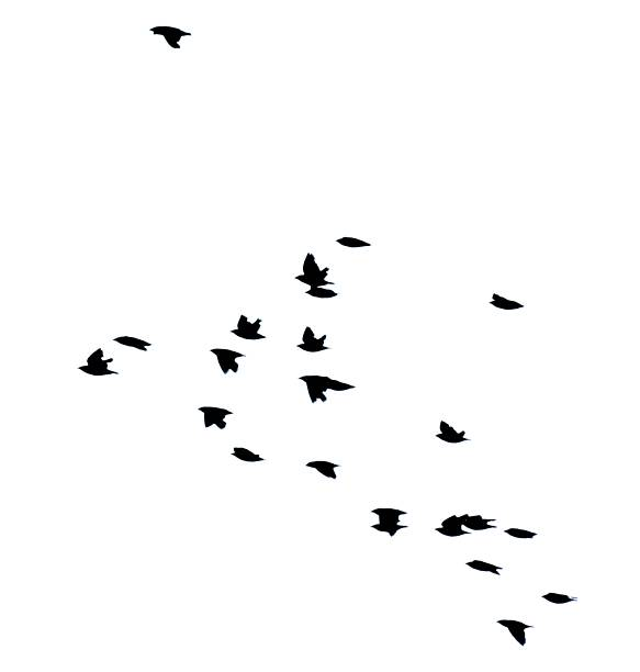starling bird flock group in flight flying silhouette white background stock photo