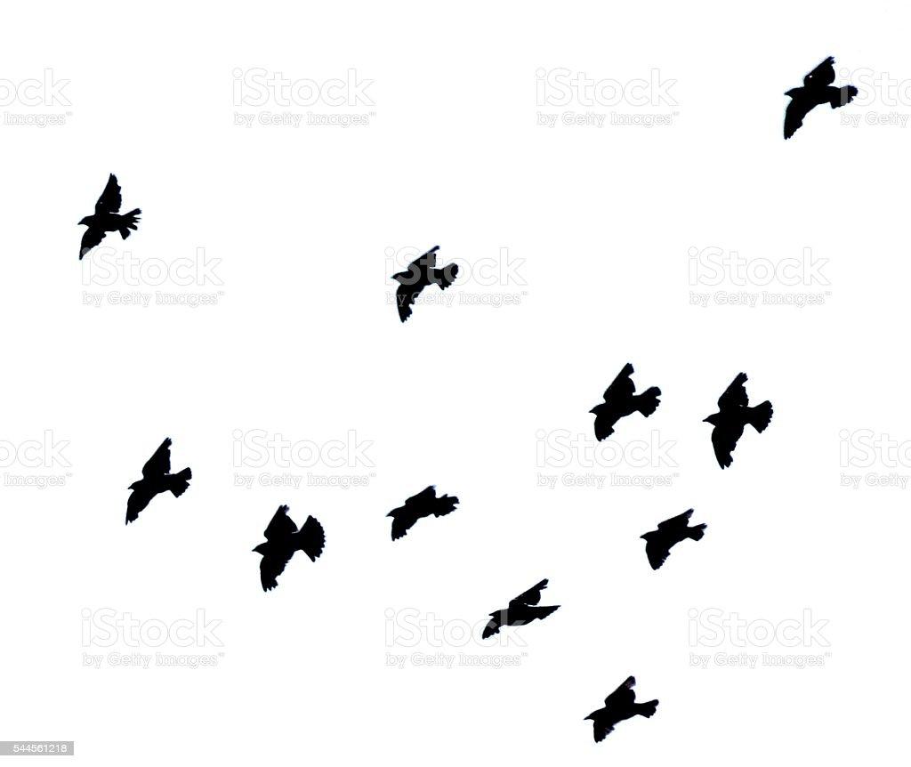 starling bird flock group in flight flying silhouette white