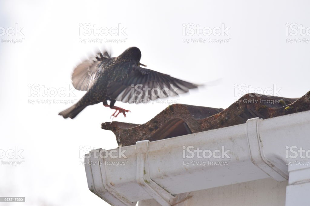 starling bird flying from nesting in roof royalty-free stock photo
