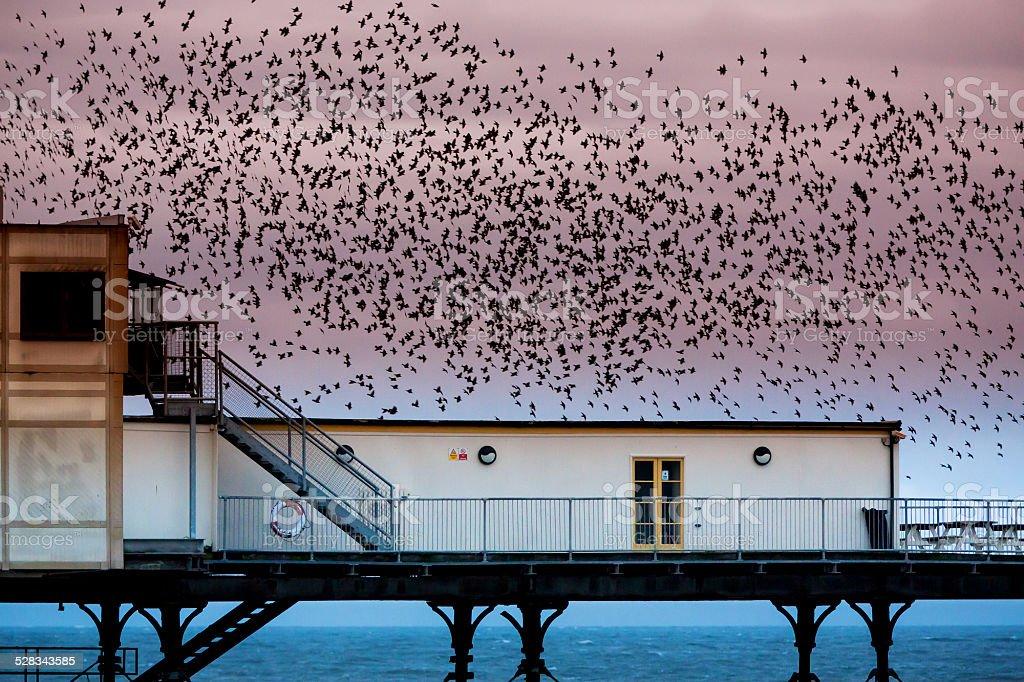 Starling murmuration stock photo