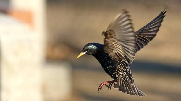 Starling stock photo