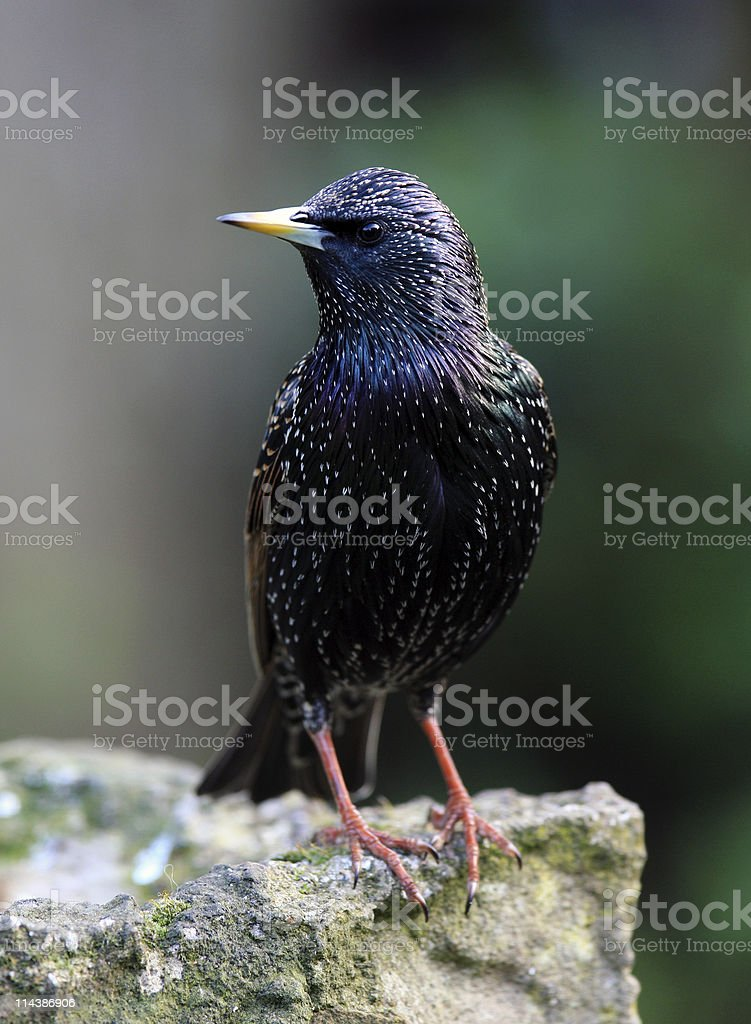 Starling (Sturnus vulgarus) royalty-free stock photo