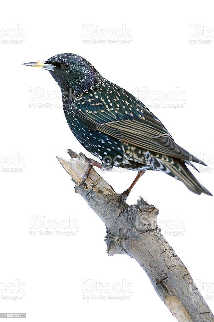 Starling (Sturnus vulgarus) royalty-free stock photo