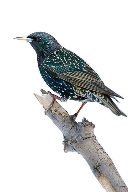 étourneau (sturnus vulgarus) - oiseau chanteur photos et images de collection