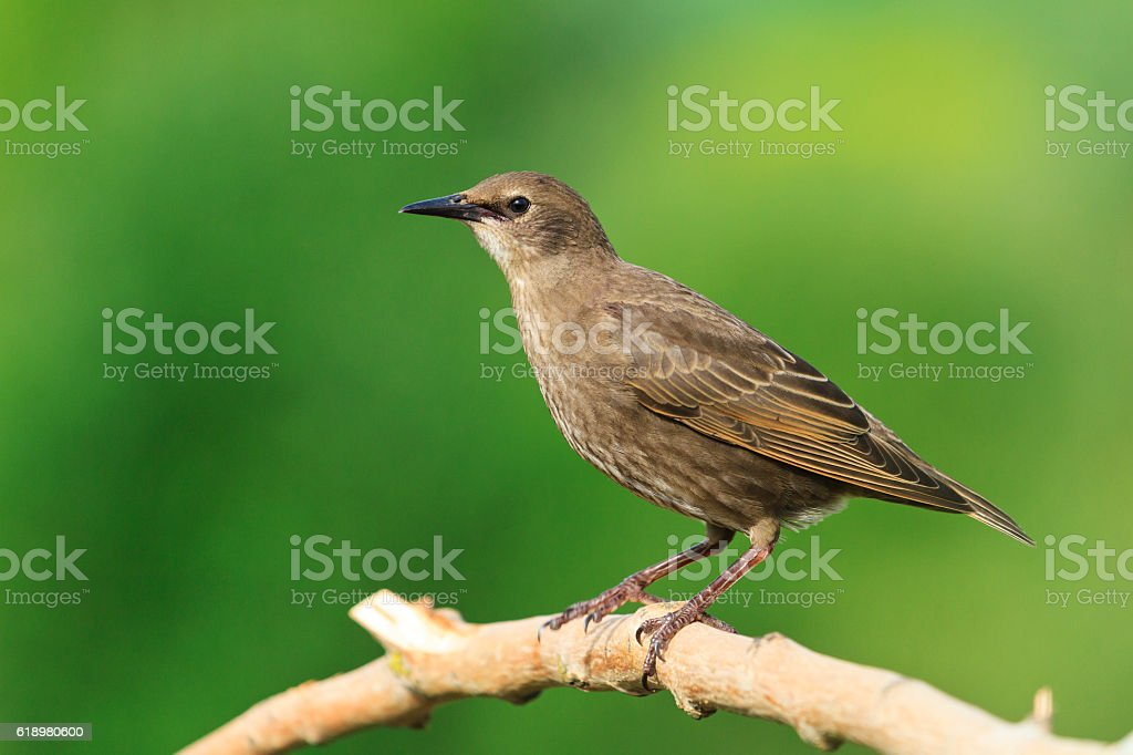 Starling sits on a dry branch   green background stock photo