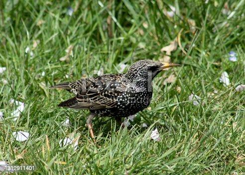 Starling walking on green grass