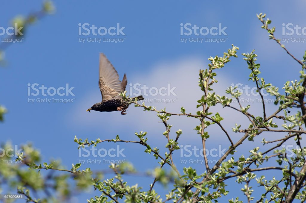 Starling with a caterpillar in its beak flies stock photo