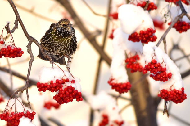 Starling with red berries stock photo
