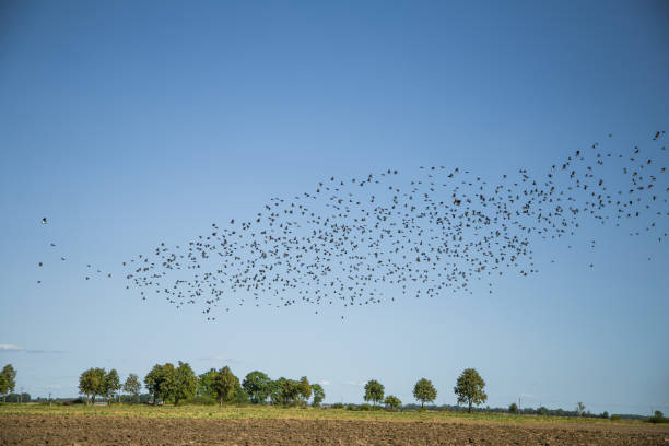 Starlings and lapwings ready for migration over the field. Flock of birds flying to south in autumn. Murmuration. stock photo