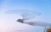 An outline shape of a bird, created as thousands of starlings form a murmuration at dusk in Scotland.