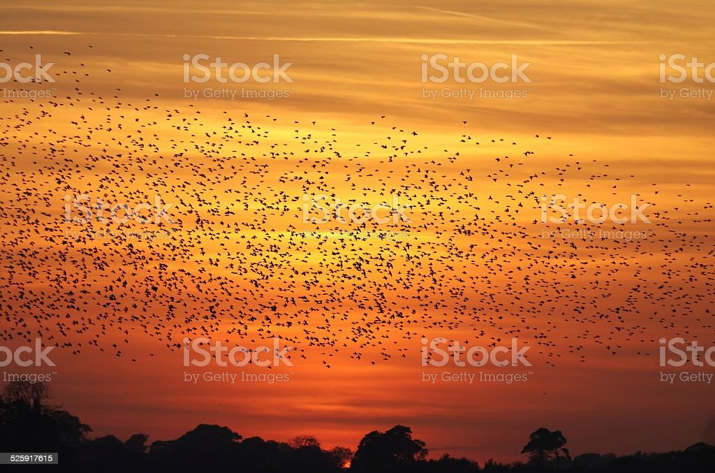 Starlings flocking over Minsmere at sunset stock photo