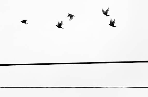 Starlings Flyby stock photo