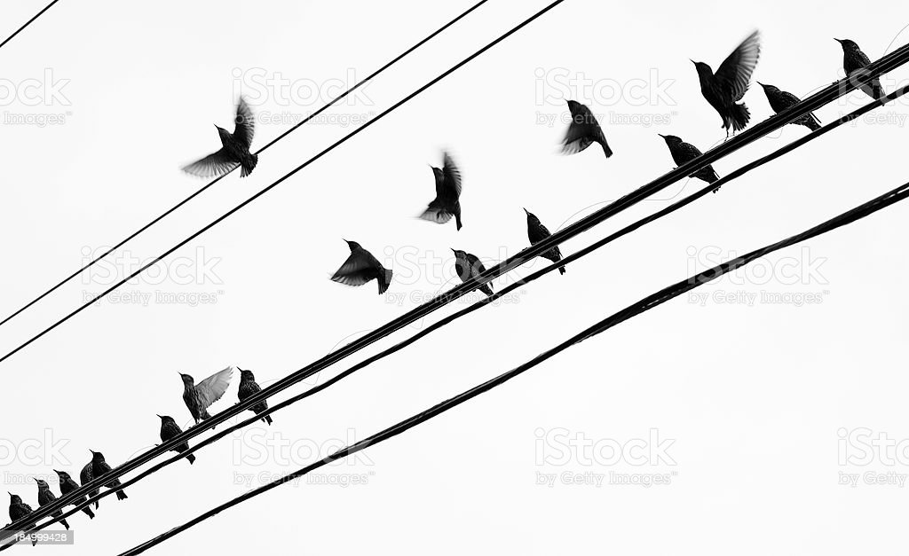 Starlings group takeoff stock photo