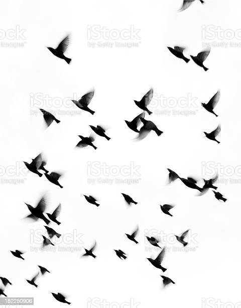Starlings In Fall Migration Fly South Stock Photo - Download Image Now