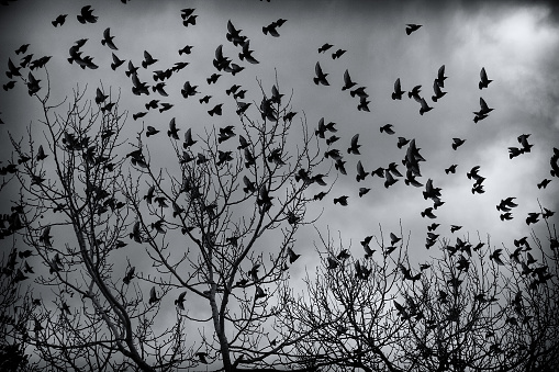 Starlings in trees migrating, birds in freedom, nature