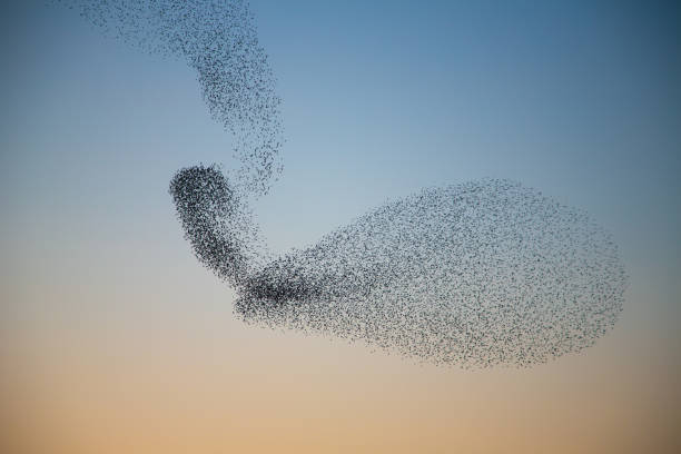 Starlings murmuring creating unusual shape in the sky Murmuring of Starlings over nature reserve early evening flock of birds stock pictures, royalty-free photos & images