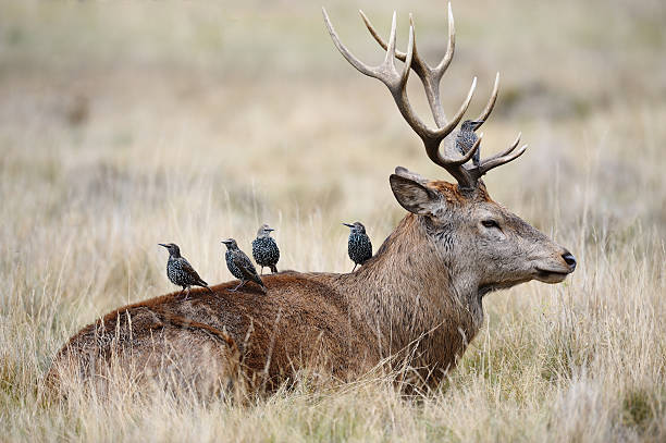 Starlings on the back of a red deer stag  symbiotic relationship stock pictures, royalty-free photos & images