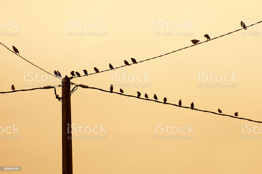 Starlings on wires, flock of birds at dusk. stock photo