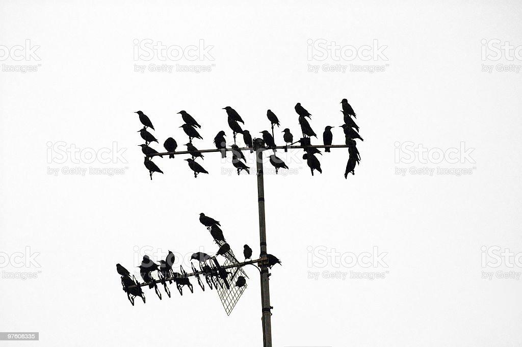 Starlings ready for migration royaltyfri bildbanksbilder