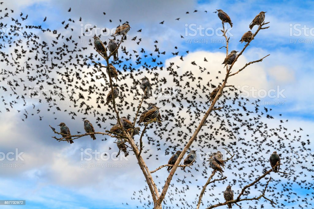 starlings sitting on the branches against the sky with flocks of birds stock photo
