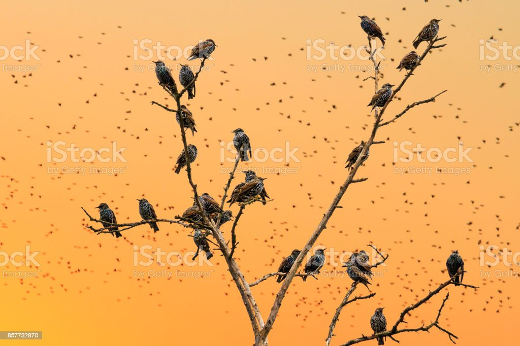 starlings sitting on the branches on a background of orange sky stock photo