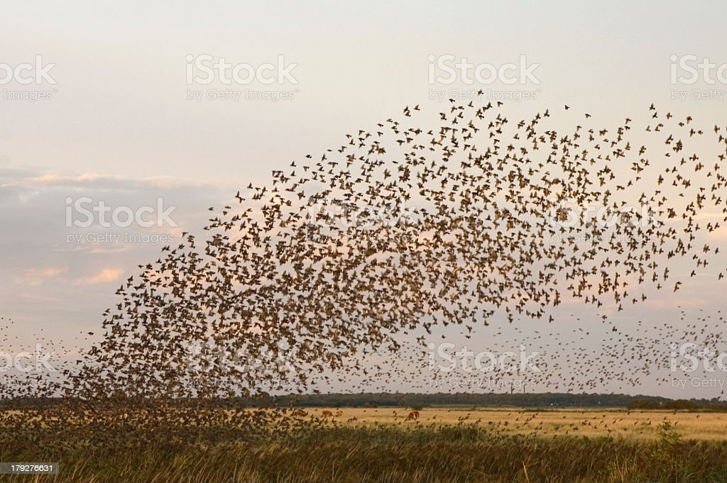 starlings2 stock photo