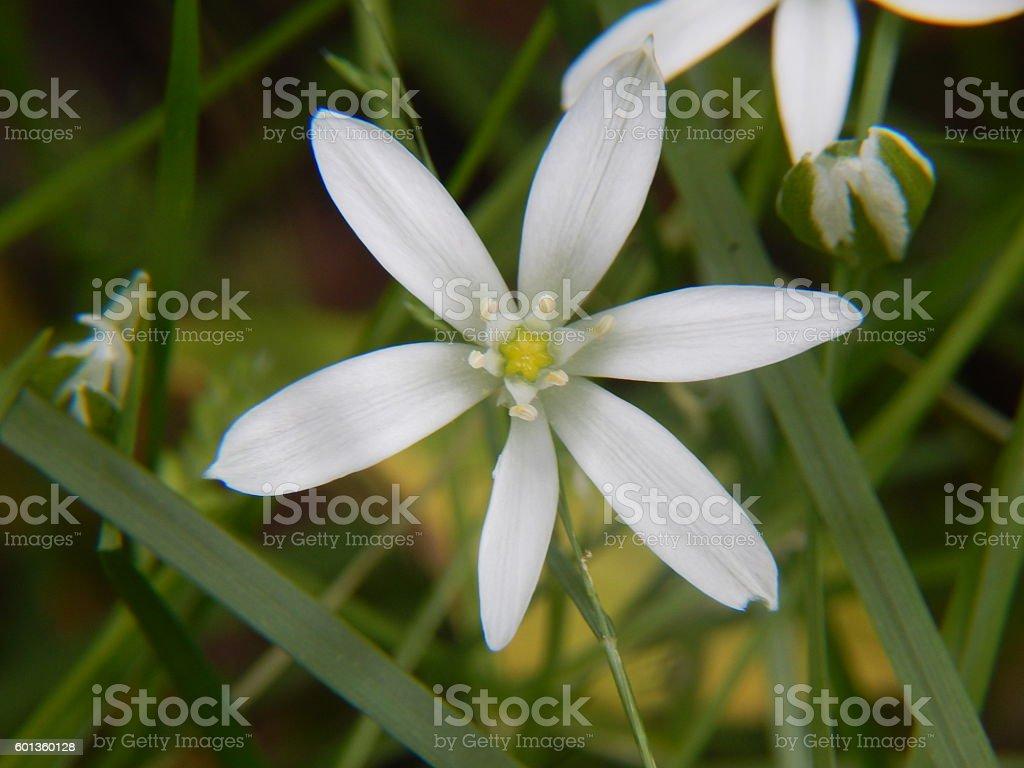 Star-of-Bethlehem flower stock photo