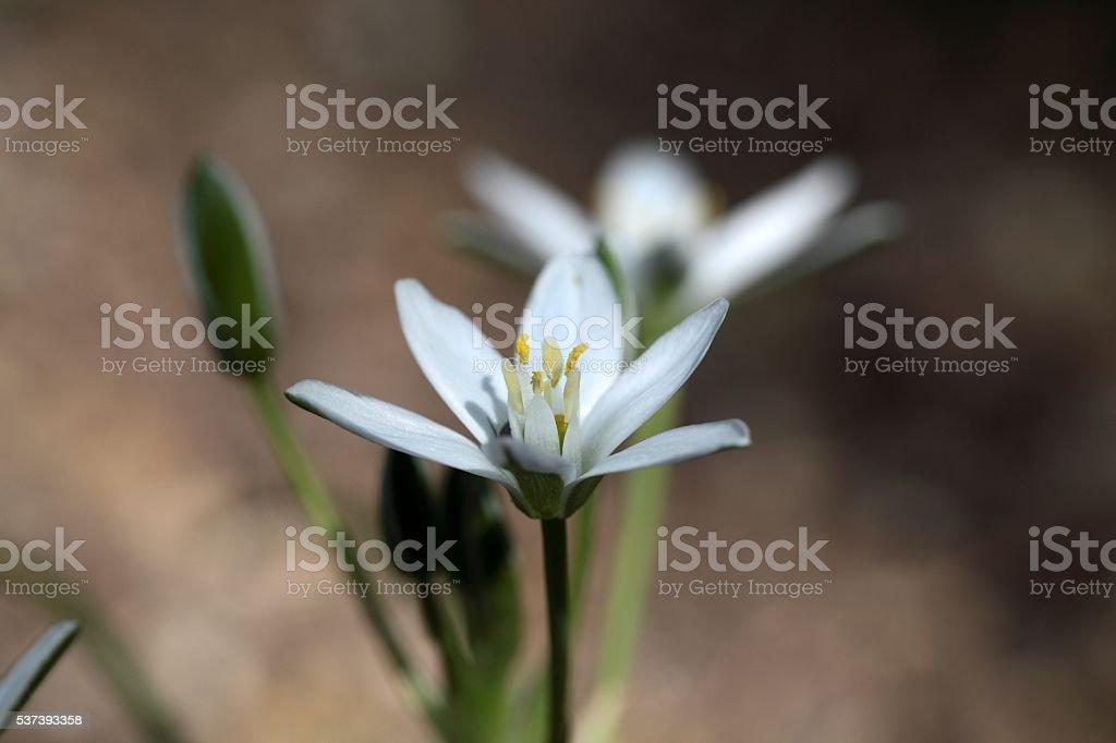 Star-of-Bethlehem (Ornithogalum umbellatum) stock photo