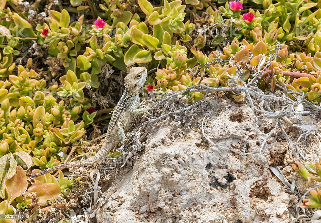 Starred Agama lizard on a rock in Cyprus stock photo
