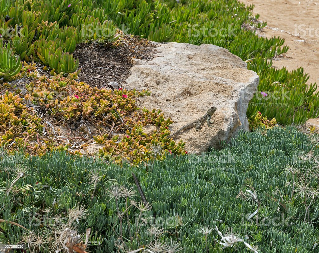 Starred Agama lizard on rock at the island in Cyprus stock photo