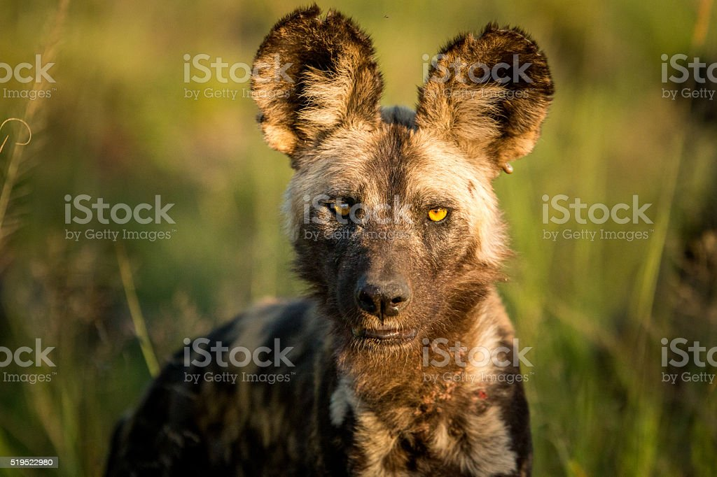 Starring African wild dog in the Kruger National Park stock photo