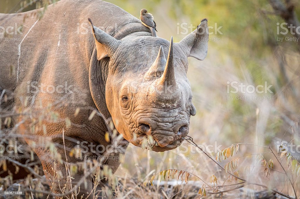 Starring Black rhino in the Kruger. stock photo