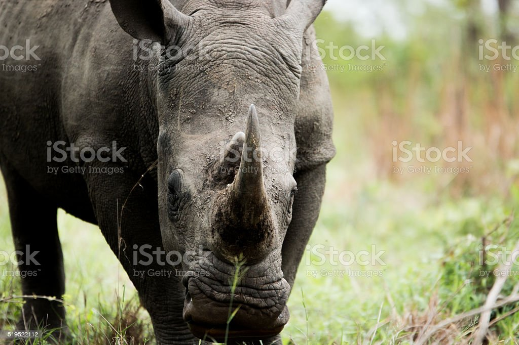 White rhino starring in the Kruger National Park, South Africa.