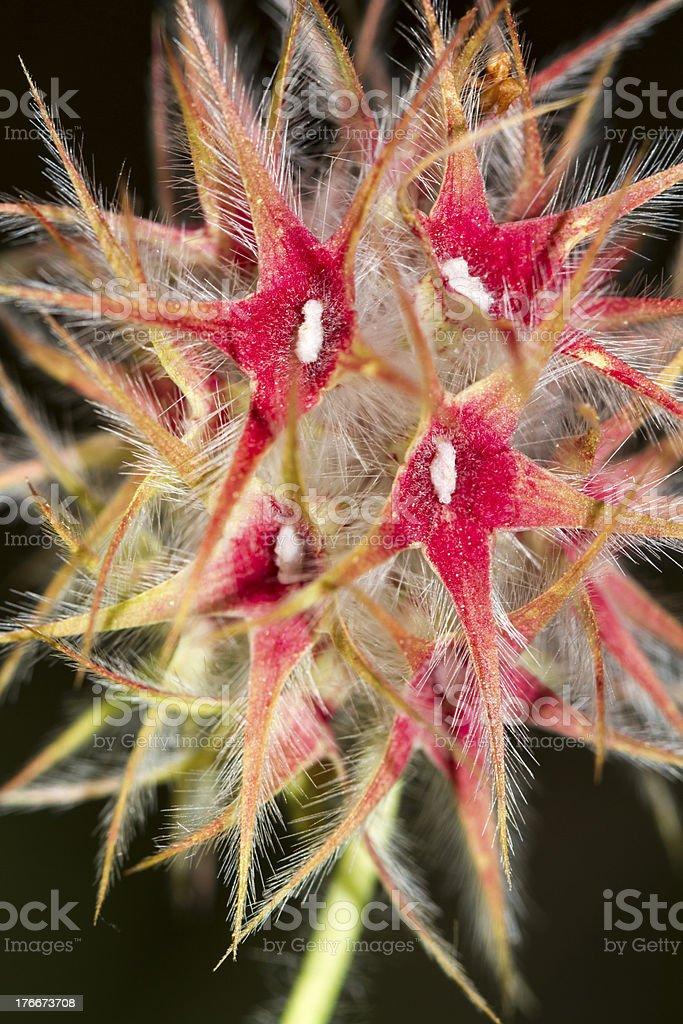 Starry Clover (Trifolium stellatum) flower royalty-free stock photo