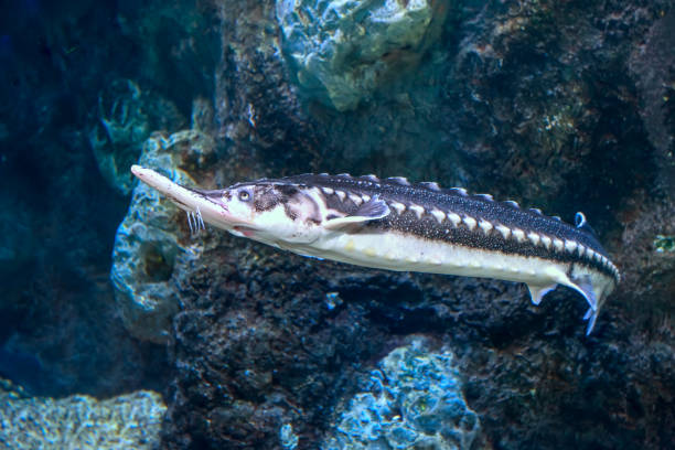 Starry Sturgeon (Acipenser stellatus) fish stock photo
