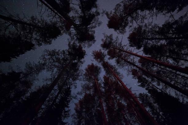 stjärnor ovanför tallskogen - fur bildbanksfoton och bilder