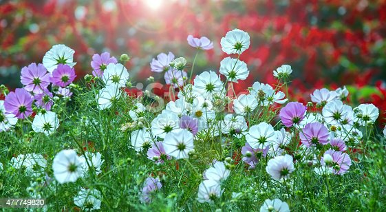 Cosmos Bipinnatus flower forest towards the sun gives light shimmering from the fragile petals makes your day more vitality